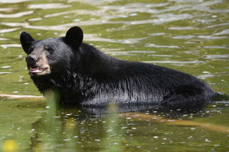 Bright summer closeup of a North American black bear bathing in a shallow pond habitat.