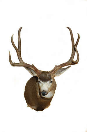 forked: Large Mule deer Taxidermy mount