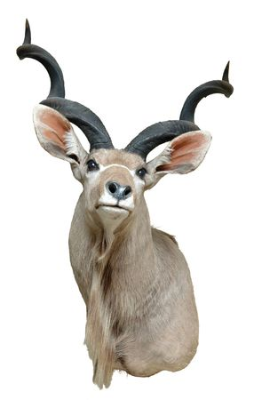 chordata: A taxidermy mount of a Kudu on a white background