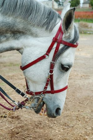 gray Arabian horse head with english bridle