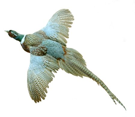 A male phasianus colchicus or ring-necked pheasant