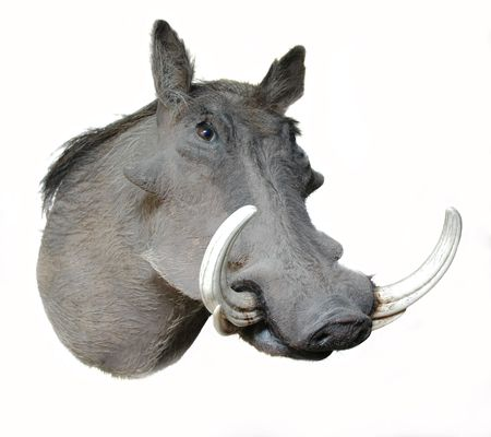 African wart hog on a white background photo
