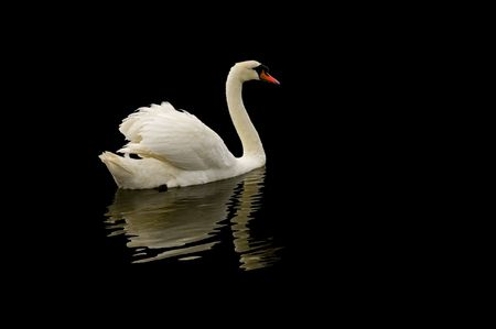 Mute swan at swannery in Abbotsbury, Dorset, England isolated on black Stock Photo - 1005885