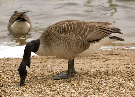 anseriformes: closeup of head of Brant goose