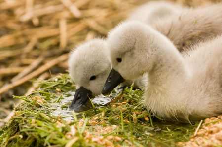 anseriformes: cygnets at swannery in Abbotsbury, Dorset, England Stock Photo