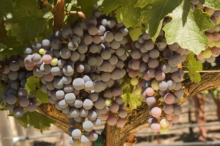 viniculture: ripening red grapes on the vine in a vineyard in Napa Valley, California