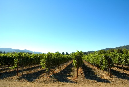 supported: Rows of supported and trained vines in a terraced vineyard in hills of Northern California  Stock Photo
