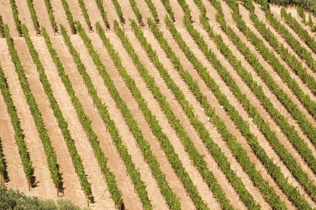 Rows of supported and trained vines in a terraced vineyard in hills of Northern California  Stock Photo