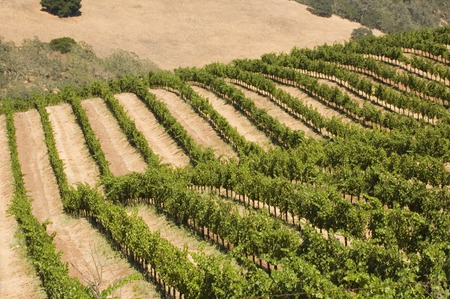 Rows of supported and trained vines in a terraced vineyard in the rolling hills of Northern California
