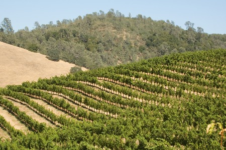 trained: Rows of supported and trained vines in a terraced vineyard in the rolling hills of Northern California