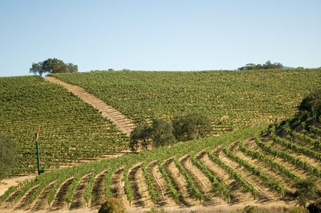Rows of supported and trained vines in a terraced vineyard in the rolling hills of Northern California Stock Photo - 1397326