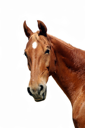 closeup of saddlebred horse isolated on a white background