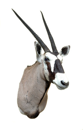 Taxidermy mount of an African  Oryx or Gemsbok, isolated on a white background photo