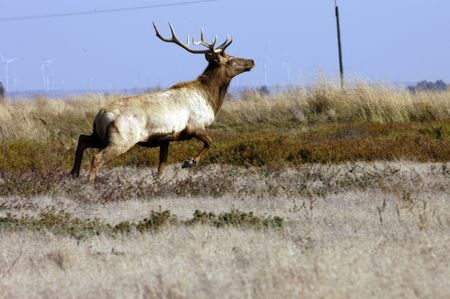 wapiti: Wapiti running after winding