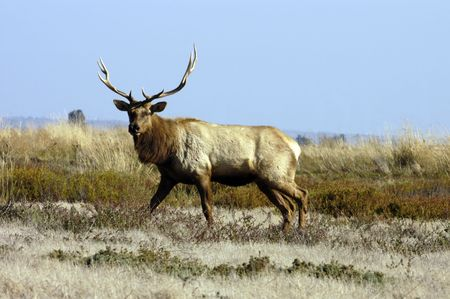 Californian Tule Elk cautiously approaching Stock Photo