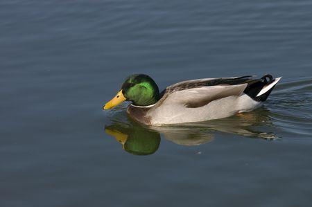 corvidae: Mallard drake swimming in pond with reflection Stock Photo