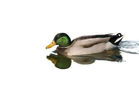 irridescent: Mallard drake swimming in pond with reflection isolated Stock Photo