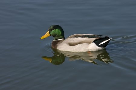 irridescent: Mallard drake swimming in pond with reflection Stock Photo