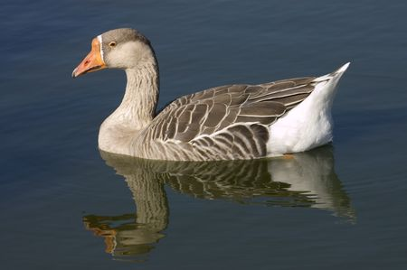 corvidae: Goose swimming in pond with reflection Stock Photo