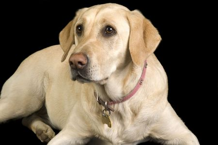 A female White Labrador dog looking quizzically as it lays down isolated on black Reklamní fotografie
