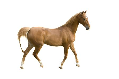 Saddlebred horse on white background