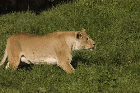 Lioness stalking prey Stock Photo - 2125999