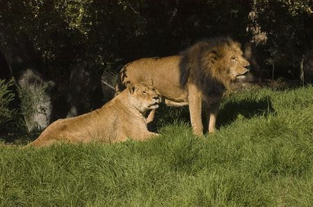 Lion and lioness resting Stock Photo - 2125998