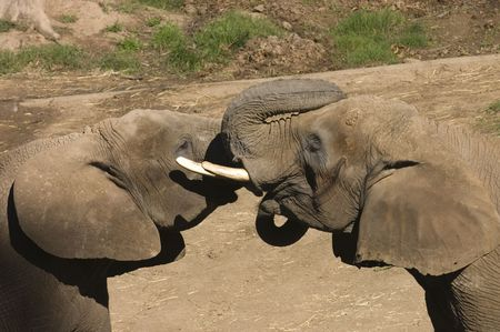 Elephants caressing