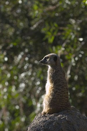 carnivora: Slender tailed meerkat on guard, watching for danger while others play fight