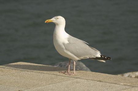 A common  Herring gull
