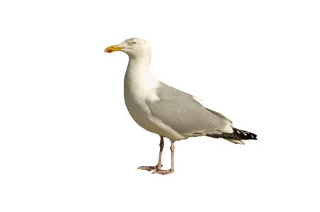 charadriiformes: A common  Herring gull isolated on white