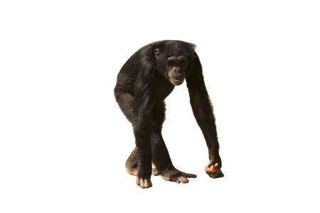 omnivore: A chimpanzee walking with carrots in its hand isolated over white