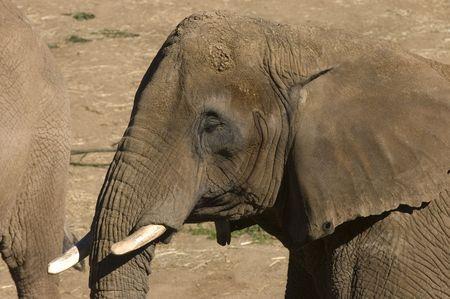 African Elephants closeup