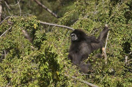 White-handed gibbon nestled in a tree. Stock Photo