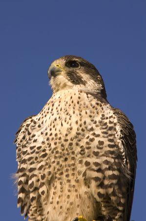 merlin: Closeup of Peregrine falcon crossbred Merlin against a blue sky