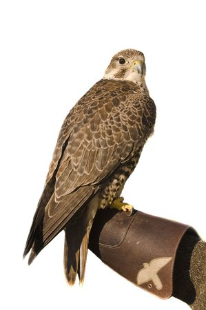 merlin: Peregrine Falcon crossbred Merlin sitting on gloved hand of handler isolated on white Stock Photo