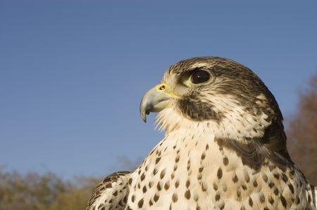 merlin falcon: a closeup of a Peregrine falcon - Merlin crossbred raptor