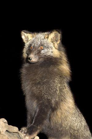 pelage: Arctic fox standing on log, isolated on black Stock Photo
