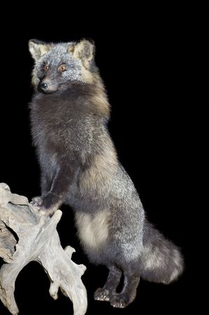 canid: A taxidermied mount of a silver tipped fox, which is a cross between and wrctic and a red fox
