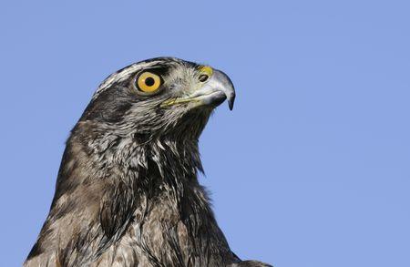 azor: Azor closeup en un cielo azul
