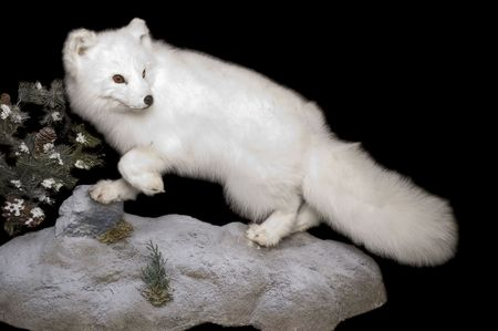 pelage: Taxidermy mount of an Arctic Fox in winter pelage, isolated on a black background Stock Photo