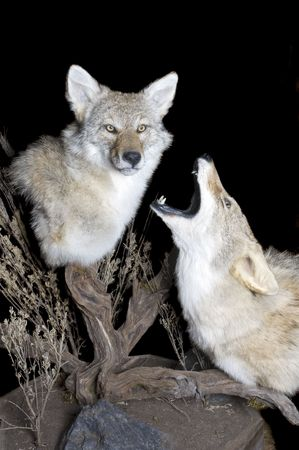carnivora: Taxidermy mount of two coyotes in typical scenic setting on a black background Stock Photo