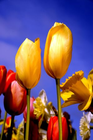 Yellow and red Tulips and daffdils glowing in the afternoon sun against a bright blue sky photo