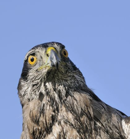 accipitridae: Northern Goshawk in closeup against a blue sky