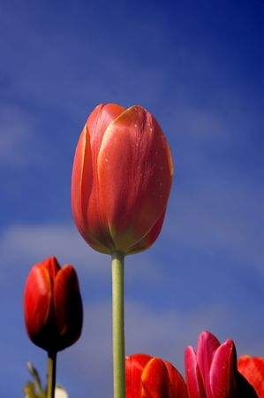 Beautiful red tulip against a blue sky from a low angle photo