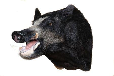 taxidermy mount of a wild boar