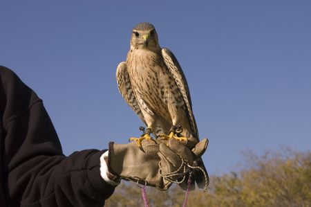 falconidae: Merlin closeup on the arm of falconer and against a blue sky