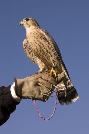 merlin falcon: Merlin on falconers glove against a blue sky