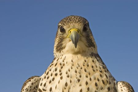 handler: closeup of  Peregrine Falcon crossbred with a Prarie Falcon and Gyrfalcon mix sitting on gloved hand of handler  Stock Photo