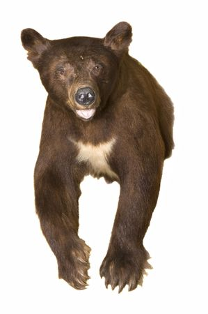 carnivora: Taxidermy mount of a black bear in a brown phase